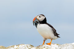 Atlantic puffin with a catch of sand eels Royalty Free Stock Photos