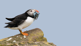 Atlantic puffin with a catch of sand eels Royalty Free Stock Photography