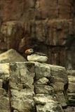 Atlantic Puffin on cliff. Atlantic Puffin resting on a cliff Royalty Free Stock Image
