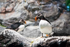 Atlantic Puffin on cliff Stock Photo