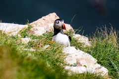 Atlantic Puffin on the cliff top Stock Photo