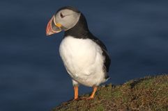 Atlantic Puffin on clifftop. In Shetland islands Royalty Free Stock Images