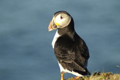 Atlantic Puffin. On clifftop in Shetland islands Royalty Free Stock Photo