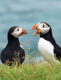 Atlantic puffin, Stock Photography