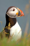 Atlantic puffin, Royalty Free Stock Photo