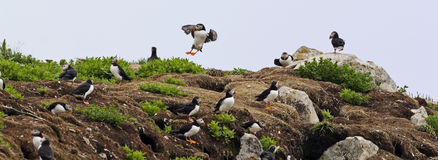 An Atlantic Puffin colony with many birds Stock Image
