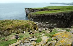 Atlantic puffin colony in Noss island, UK. Atlantic puffin colony in Noss island, Shetlands, UK royalty free stock image