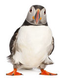 Atlantic Puffin or Common Puffin. Fratercula arctica, in front of white background Royalty Free Stock Photo