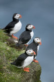 Atlantic Puffin or Common Puffin. Fratercula arctica, on Mykines, Faroe Islands Royalty Free Stock Photography