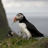 Atlantic Puffin or Common Puffin Stock Images