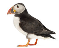 Atlantic Puffin or Common Puffin. Fratercula arctica, in front of white background Stock Photography