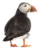 Atlantic Puffin or Common Puffin. Fratercula arctica, in front of white background stock image