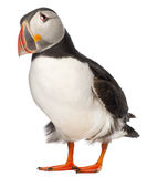 Atlantic Puffin or Common Puffin. Fratercula arctica, in front of white background stock photo
