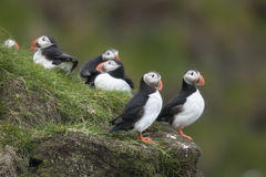 Atlantic Puffin or Common Puffin Royalty Free Stock Image