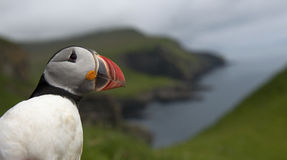Atlantic Puffin or Common Puffin Royalty Free Stock Photography