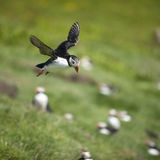 Atlantic Puffin or Common Puffin Royalty Free Stock Photo
