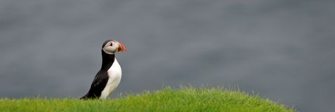 Atlantic Puffin or Common Puffin Royalty Free Stock Photos