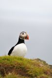 Atlantic Puffin or Common Puffin Stock Photo
