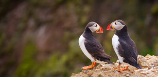 Atlantic Puffin Couple in a Conversation. Two Atlantic Puffins in conversation. These affectionate, companionable seabirds have expressive faces, bright Royalty Free Stock Photos