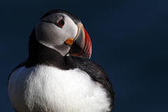 Atlantic puffin on edge of tall cliff, Iceland Royalty Free Stock Photo