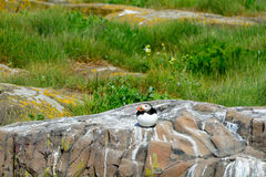 Atlantic puffin, Farne Islands Nature Reserve, England Royalty Free Stock Photo