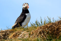 Atlantic puffin, Farne Islands Nature Reserve, England Stock Photo