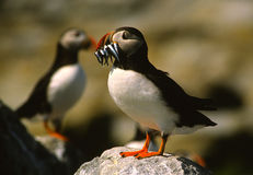 Atlantic Puffin With Fish Stock Photos