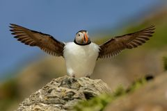 Atlantic Puffin Stock Image