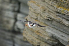 An Atlantic Puffin flies from a cliff Royalty Free Stock Photography