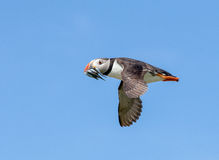 Atlantic puffin in flight Royalty Free Stock Images