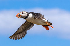Atlantic puffin in flight Royalty Free Stock Photos