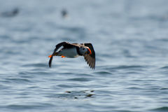 Atlantic Puffin flying. Above the ocean royalty free stock photos