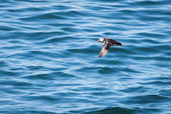 Atlantic Puffin flying low. Atlantic Puffin Fratercula arctica flying low above water, Maine, USA royalty free stock photos