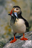 Atlantic Puffin With food Stock Photo