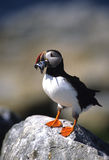 Atlantic Puffin With food. An atlantic puffin delivering mouthful of food Stock Photo