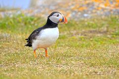 Atlantic Puffin foraging in a grass meadow, Newfoundland, Canada. Green stock photo