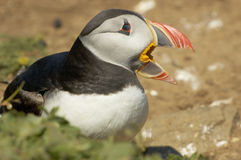 Atlantic Puffin - Fratercula arctica stock photography