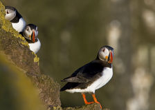 An atlantic puffin (Fratercula arctica). Curious Puffins in the sunset on a cliff at Latrabjarg, Iceland royalty free stock image