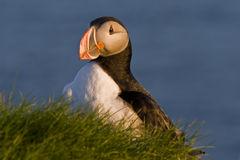 An atlantic puffin (Fratercula arctica) Royalty Free Stock Photos