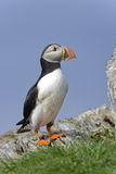 Atlantic puffin, fratercula arctica Stock Image