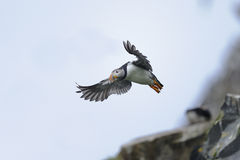 Atlantic puffin, fratercula arctica Royalty Free Stock Photo