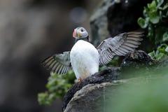 Atlantic puffin, fratercula arctica Stock Photo