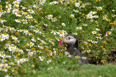 Atlantic Puffin fratercula arctica Stock Image