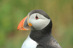 Atlantic Puffin (Fratercula arctica). Close up, Inner Farne, Farne Islands, Northumberland, England stock images
