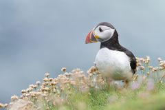 Atlantic Puffin Fratercula arctica adult, with flowering sea thrift stock photos