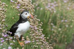 Atlantic Puffin Fratercula arctica adult, with flowering sea thrift royalty free stock photography