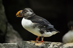 Atlantic puffin Fratercula arctica. Also known as the common puffin stock photo