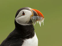 Atlantic puffin (fratercula arctica) Royalty Free Stock Images