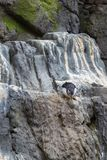 Atlantic Puffin, Fratercula Arctica, on a Cliff.  Stock Image