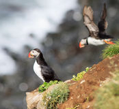 Atlantic Puffin (Fratercula arctica) on cliff top Stock Image